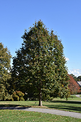 Redmond Linden (Tilia americana 'Redmond') at Town And Country Gardens