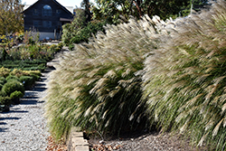 Gracillimus Maiden Grass (Miscanthus sinensis 'Gracillimus') at Town And Country Gardens