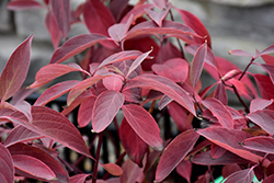 Arctic Fire® Red Twig Dogwood (Cornus sericea 'Farrow') at Town And Country Gardens