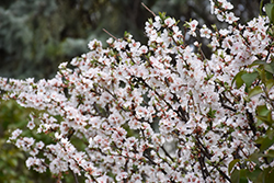 Nanking Cherry (Prunus tomentosa) at Town And Country Gardens
