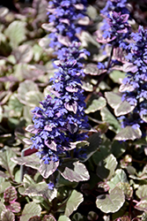 Burgundy Glow Bugleweed (Ajuga reptans 'Burgundy Glow') at Town And Country Gardens
