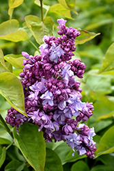 Katherine Havemeyer Lilac (Syringa vulgaris 'Katherine Havemeyer') at Town And Country Gardens