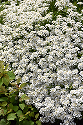 Candytuft (Iberis sempervirens) at Town And Country Gardens