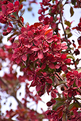 Royalty Flowering Crab (Malus 'Royalty') at Town And Country Gardens