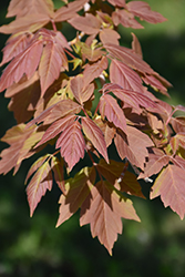 Sensation Boxelder (Acer negundo 'Sensation') at Town And Country Gardens