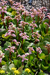 Pink Dragonfly Bergenia (Bergenia 'Pink Dragonfly') at Town And Country Gardens