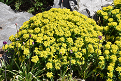 Cushion Spurge (Euphorbia polychroma) at Town And Country Gardens