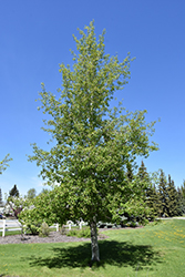 Trembling Aspen (Populus tremuloides) at Town And Country Gardens