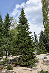 Alpine Fir (Abies lasiocarpa) at Town And Country Gardens