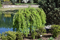 Weeping Peashrub (Caragana arborescens 'Pendula') at Town And Country Gardens