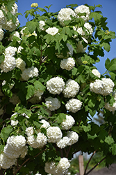 Eastern Snowball Viburnum (Viburnum opulus 'Sterile') at Town And Country Gardens