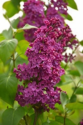 Congo Lilac (Syringa vulgaris 'Congo') at Town And Country Gardens