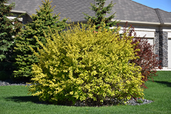 Dart's Gold Ninebark (Physocarpus opulifolius 'Dart's Gold') at Town And Country Gardens
