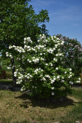 Snowball Viburnum (Viburnum opulus 'Roseum') at Town And Country Gardens