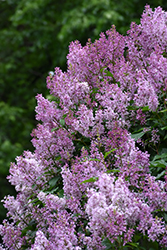 Donald Wyman Lilac (Syringa x prestoniae 'Donald Wyman') at Town And Country Gardens