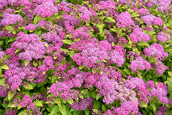 Magic Carpet Spirea (Spiraea x bumalda 'Magic Carpet') at Town And Country Gardens