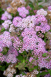 Little Princess Spirea (Spiraea japonica 'Little Princess') at Town And Country Gardens