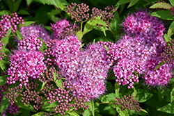 Anthony Waterer Spirea (Spiraea x bumalda 'Anthony Waterer') at Town And Country Gardens