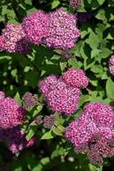 Double Play® Artisan® Spirea (Spiraea japonica 'Galen') at Town And Country Gardens