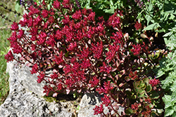 Voodoo Stonecrop (Sedum spurium 'Voodoo') at Town And Country Gardens