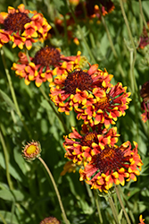 Fanfare Blanket Flower (Gaillardia x grandiflora 'Fanfare') at Town And Country Gardens