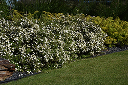 McKay's White Potentilla (Potentilla fruticosa 'McKay's White') at Town And Country Gardens
