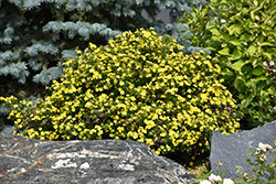Gold Drop Potentilla (Potentilla fruticosa 'Gold Drop') at Town And Country Gardens