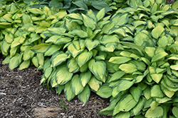 Paul's Glory Hosta (Hosta 'Paul's Glory') at Town And Country Gardens