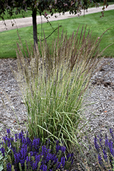 El Dorado Feather Reed Grass (Calamagrostis x acutiflora 'El Dorado') at Town And Country Gardens