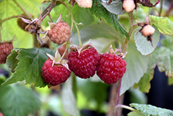 Heritage Raspberry (Rubus 'Heritage') at Town And Country Gardens