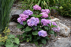 Bloomstruck® Hydrangea (Hydrangea macrophylla 'PIIHM-II') at Town And Country Gardens