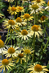 Maui Sunshine Coneflower (Echinacea 'Maui Sunshine') at Town And Country Gardens