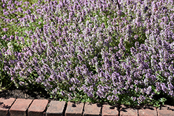 Common Thyme (Thymus vulgaris) at Town And Country Gardens