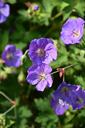 Jolly Bee Cranesbill (Geranium 'Jolly Bee') at Town And Country Gardens
