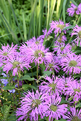 Petite Wonder Beebalm (Monarda 'Petite Wonder') at Town And Country Gardens