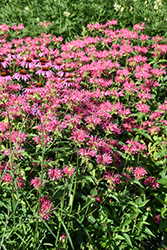 Coral Reef Beebalm (Monarda didyma 'Coral Reef') at Town And Country Gardens