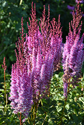 Superba Chinese Astilbe (Astilbe chinensis 'Superba') at Town And Country Gardens