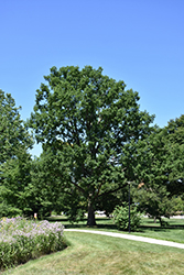 Chinkapin Oak (Quercus muehlenbergii) at Town And Country Gardens