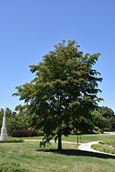 Accolade Elm (Ulmus 'Morton') at Town And Country Gardens