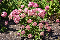 Invincibelle® Ruby Smooth Hydrangea (Hydrangea arborescens 'NCHA3') at Town And Country Gardens