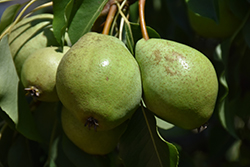 Luscious Pear (Pyrus communis 'Luscious') at Town And Country Gardens