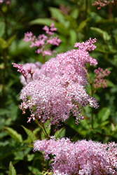 Queen Of The Prairie (Filipendula rubra) at Town And Country Gardens