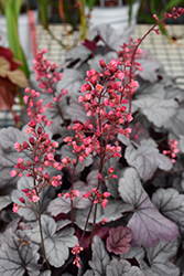 Dolce® Silver Gumdrop Coral Bells (Heuchera 'Silver Gumdrop') at Town And Country Gardens