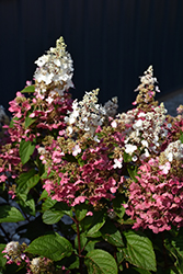Pinky Winky® Hydrangea (Hydrangea paniculata 'DVP PINKY') at Town And Country Gardens