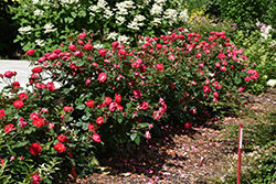 Oso Easy Double Red® Rose (Rosa 'Meipeporia') at Town And Country Gardens