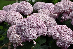 Incrediball® Blush Smooth Hydrangea (Hydrangea arborescens 'NCHA4') at Town And Country Gardens