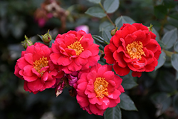 Oso Easy Urban Legend Rose (Rosa 'ChewPatout') at Town And Country Gardens