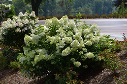 Little Lime® Hydrangea (Hydrangea paniculata 'Jane') at Town And Country Gardens