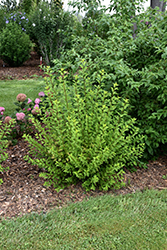 Tiny Wine® Gold Ninebark (Physocarpus opulifolius 'SMNPOTWG') at Town And Country Gardens