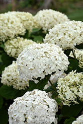Invincibelle® Wee White Hydrangea (Hydrangea arborescens 'NCHA5') at Town And Country Gardens